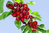 Branch Of Cherry Tree With Ripe Tasty Sweet Berries