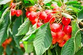 Many Beautiful Rainier Cherries Berries Shiny Bunches