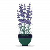 Lavender in a pot isolated on white background