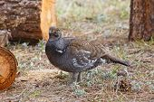 Watchful Blue Grouse