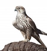 Hawk On A Tree Stump, Isolated