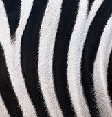 Texture Of Leather, Fur Zebra