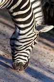 Portrait Of A Zebra Eats Close