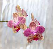 Phalaenopsis Flowers (orchid)1