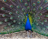 Peacock With Colorful Tail Disclosed