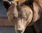Portrait Of Strong Brown Bear