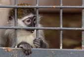 Portrait Of A Little Monkey Behind Bars