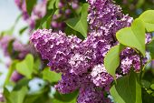 foto of lilac bush  - bush lilacs growing in nature summer day - JPG