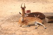stock photo of deer family  - Spotted deer family lying in parks - JPG