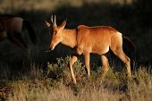 Young red hartebeest (Alcelaphus buselaphus) in late afternoon light, South Africa