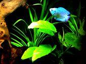 Dwarf gourami fish (polyacanthus lalius)