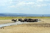 stock photo of cape buffalo  - Cape Buffalo in Lake Nakuru National Park in Kenya - JPG