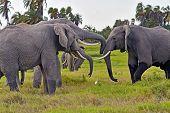 foto of kilimanjaro  - Kilimanjaro elephants in Amboseli National Park Kenya - JPG