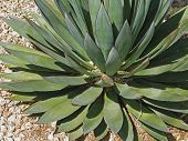 Agave plant in the desert