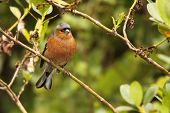 Male Chaffinch In Forest