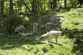 image of coyote  - A pack of howling coyotes in a forest environment - JPG