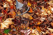 Raking up Autumn leaves.