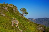 Lonely pine on the mountainside