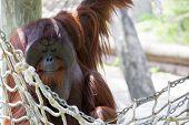 Orangutan chilling out.