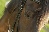 Close Up Brown Horse Eye On Meadow