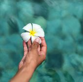 Close up Human Hand Holding Attractive Fresh White Plumeria Flower from Seychelles on a Blue Green Water Background.