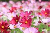pic of cosmos  - Cosmos flowers - JPG