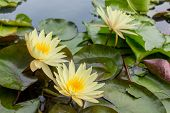 Yellow Lotus Blossom In The Water