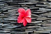 Close up Beautiful Red Hibiscus, known as Rose Mallow, Flower Plant on Piled Rocks Background.
