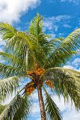 Low Angle View of Coconut Palm Tree Full of Coconuts