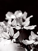 Blooming cherry blossom flowers in monotone. Black and white cherry blossoms.