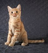 Ginger Kitten Sitting On Black Bedspread