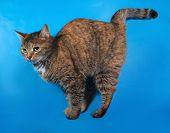 Tricolor Cat Standing On Blue