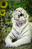 White Tiger Lying And Growls