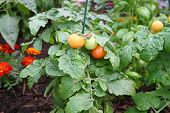 tomatoe plant in the garden