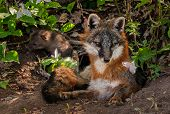 Grey Fox (urocyon Cinereoargenteus) Vixen With Kit In Background