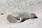 northern elephant seal pub lazing on the beach
