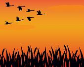 stock photo of geese flying  - A flock of geese in formation fly over a marsh in silhouette - JPG