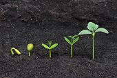 stock photo of germination  - Sequence of seed germination on soil, evolution concept