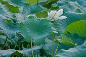 Постер, плакат: Lotus pond