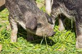 Breeding Piglet
