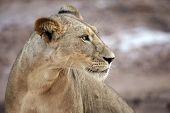 Lioness face