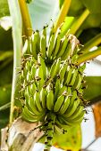 picture of bunch bananas  - a bunch of unripe bananas hangen on a banana tree - JPG
