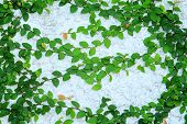 picture of creeper  - Image of green creeper plant on wall - JPG