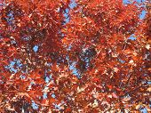 Red Oak Tree In fall with beautiful blue sky