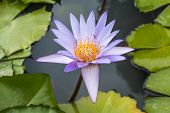Blue Lotus On The Pond In Background