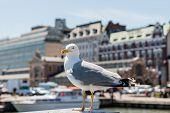 Seagull On Helsinki Market Square