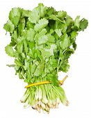 Fresh Coriander Leaves In Bunch Isolated
