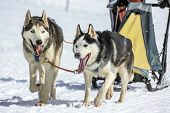 image of sled-dog  - Two sled dogs in speed racing, Moss, Switzerland