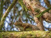 Eurasian red squirrel, sciurus vulgaris