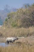 foto of greater  - Rhinoceros unicornis, Greater One-horned Rhinoceros crossing the river at Bardia national park, Nepal.